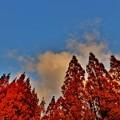 写真: メタセコイア並木の夕暮れ9