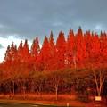 写真: メタセコイア並木の夕暮れ4