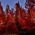 写真: メタセコイア並木のライトアップ 4