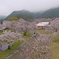 桜の錦帯橋。曇り・・・(10)