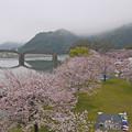 桜の錦帯橋。曇り・・・(9)