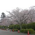 錦帯橋・微古館前の桜並木