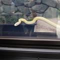 Photos: 岩国シロヘビの館(3)