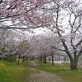 桜の錦帯橋。曇り・・・(19)