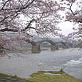 桜の錦帯橋。曇り・・・(16)