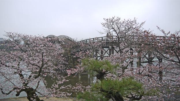 Photos: 桜の錦帯橋。曇り・・・(13)