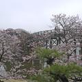 桜の錦帯橋。曇り・・・(13)