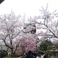 宮島・五重塔の桜