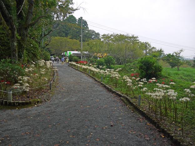 不老山正光寺・白い彼岸花まつり(8)