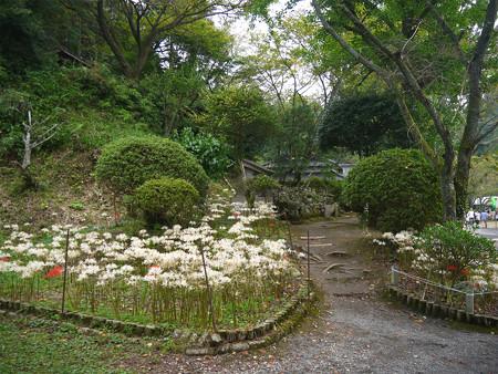 不老山正光寺・白い彼岸花まつり(7)