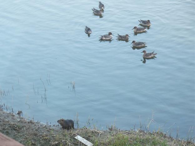 米子水鳥公園(6)水鳥とヌートリア
