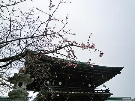 宮地嶽神社の緋寒桜(1)