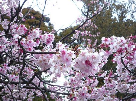 宮地嶽神社の緋寒桜(3)