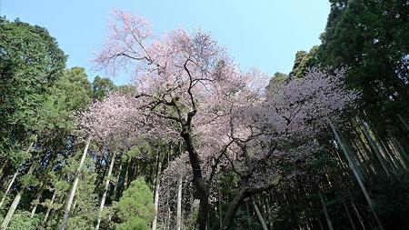 虎尾桜(2)