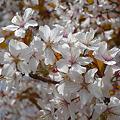 Photos: 志高湖の桜(6)