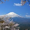 写真: 富士山與櫻花