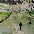 写真: 櫻花樹下