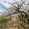 写真: 風情萬種的櫻花樹