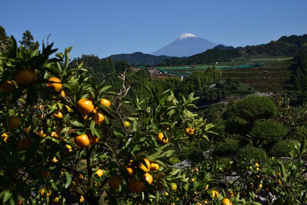 初冠雪富士山 みかんもそろそろ