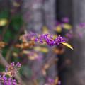 Photos: 紫の宝石