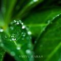 雨上がりの雫あそび(ルピナス1)