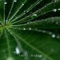 雨上がりの雫あそび(ルピナス2)