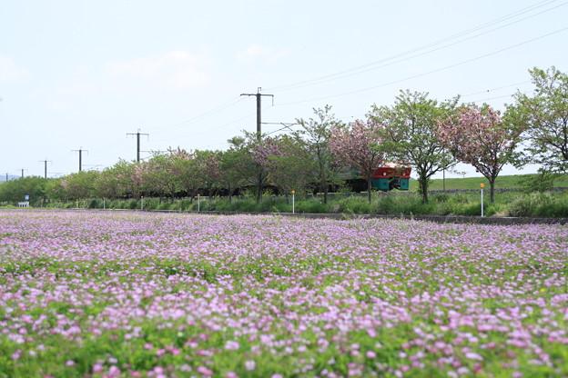 レンゲ草と783系特急列車