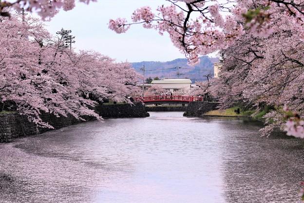 写真: 散りゆく桜