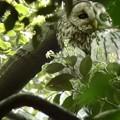 写真: フクロウ02