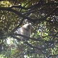 フクロウ36