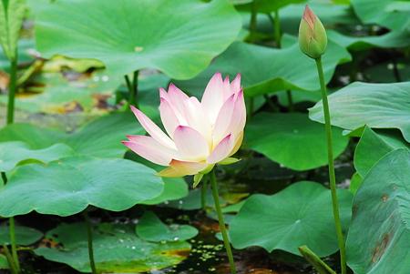 蓮の花07