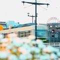 写真: ~ドームと相生橋と路面電車と・・そしてマーガレット~♪