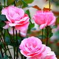 写真: 1~蔵出しUp~薔薇~♪