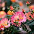 写真: 2~蔵出しUp~薔薇~♪