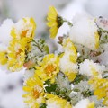 写真: 雪中花2