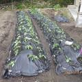 サツマイモ5月の植え付け