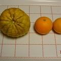 Photos: 141225-5 獅子柚子とオレンジ(?)