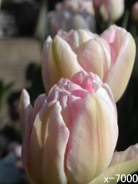 冬咲チューリップ