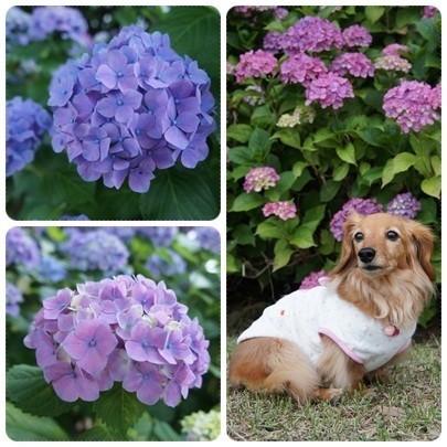 20120618 紫陽花