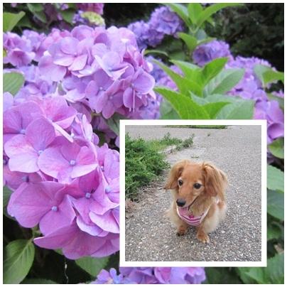 20110622 紫陽花☆JURI