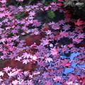 Photos: 金剛輪寺(4)紅葉の落ち葉