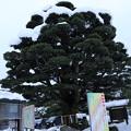 Photos: 護国神社 五葉松 樹齢600年