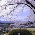 写真: 金沢城 桜の下で