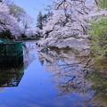 満開の奥卯辰山健民公園