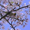 桜メジロちゃん(2)