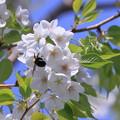 写真: 桜クマちゃん