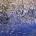 写真: 奥卯辰山健民公園 スイレンの葉と桜