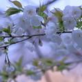 写真: 白い八重桜