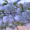 Photos: 白い八重桜