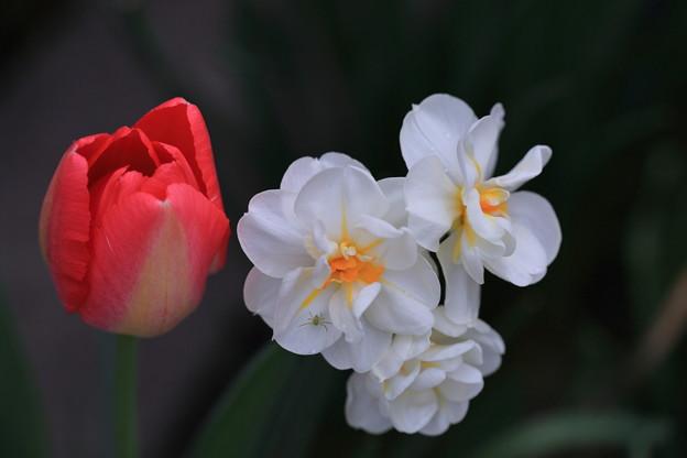 チューリップと水仙 赤と白